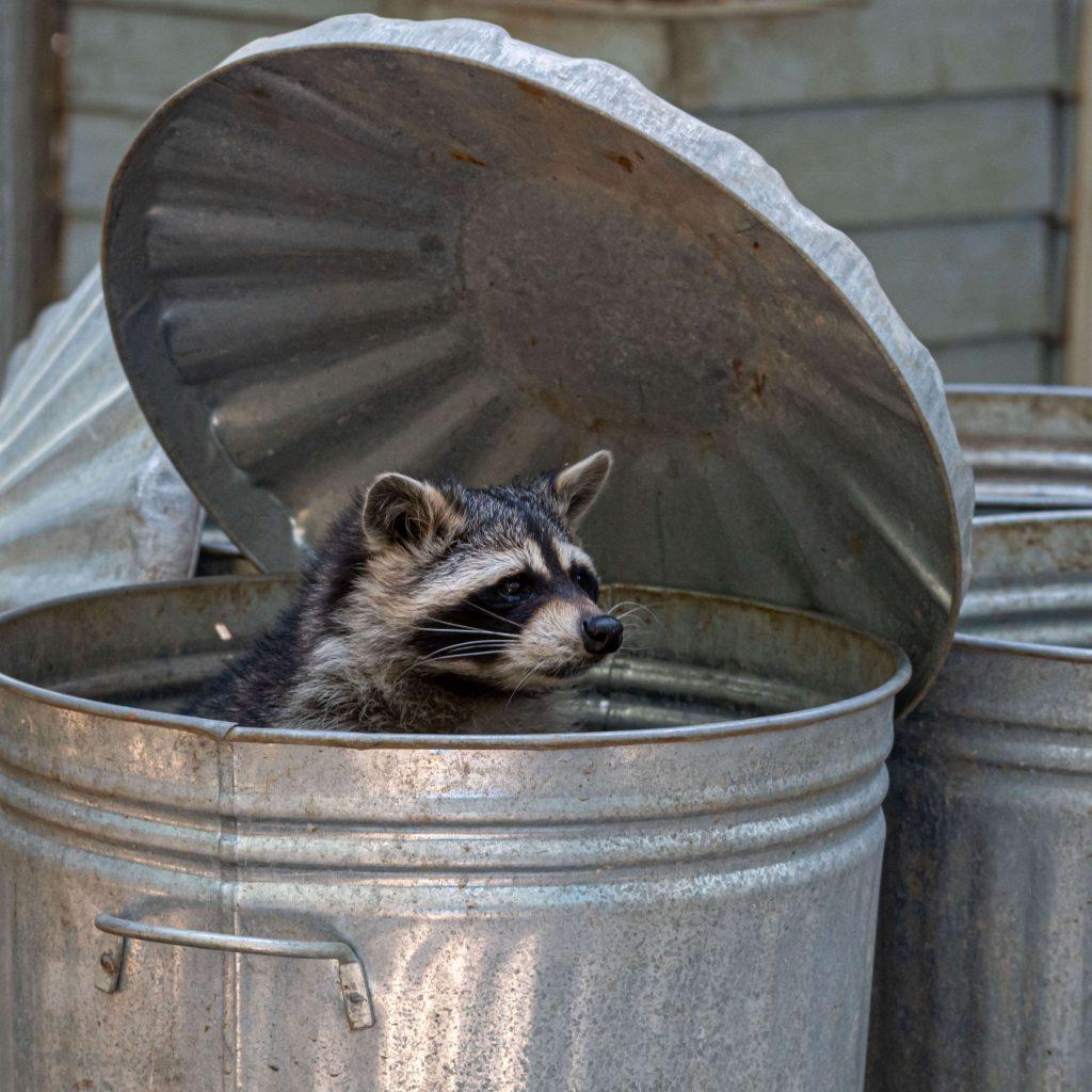 raccoon-eating