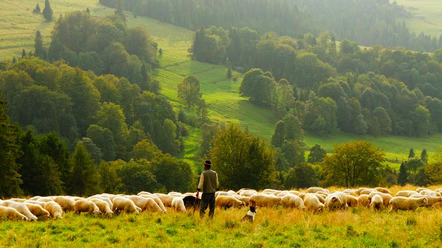 Shepherd-tending-flock-with-dog