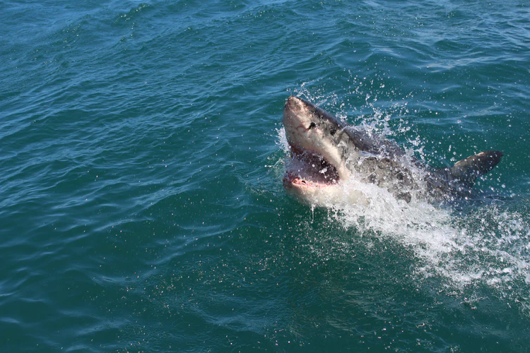Shark emerging from ocean