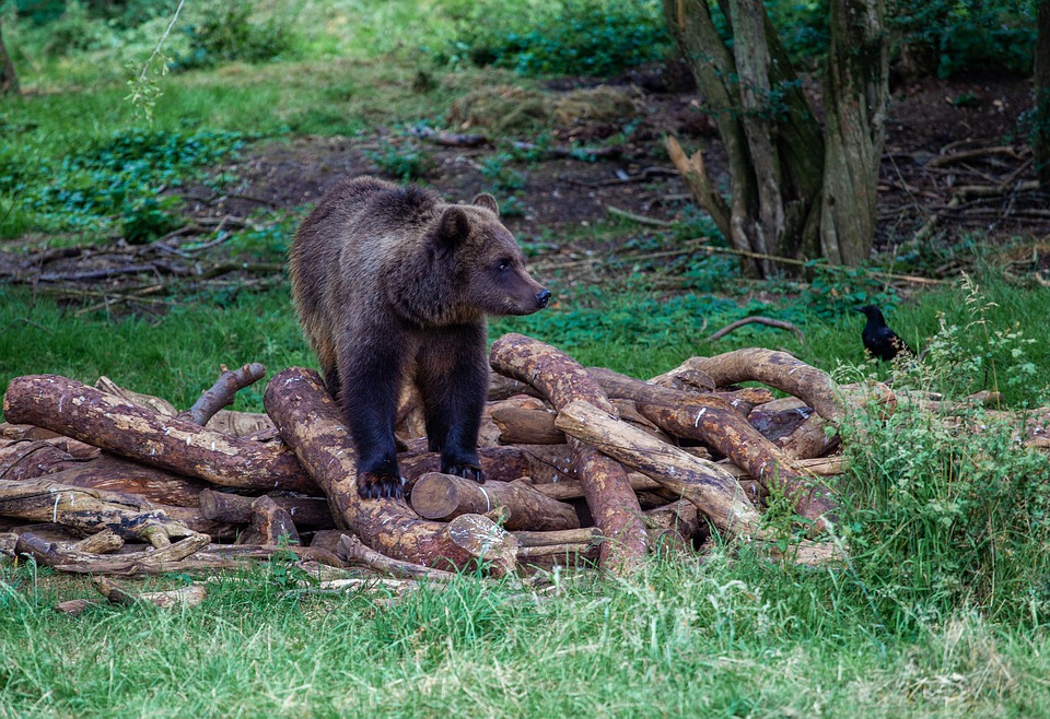 bear sitting on pile of logs