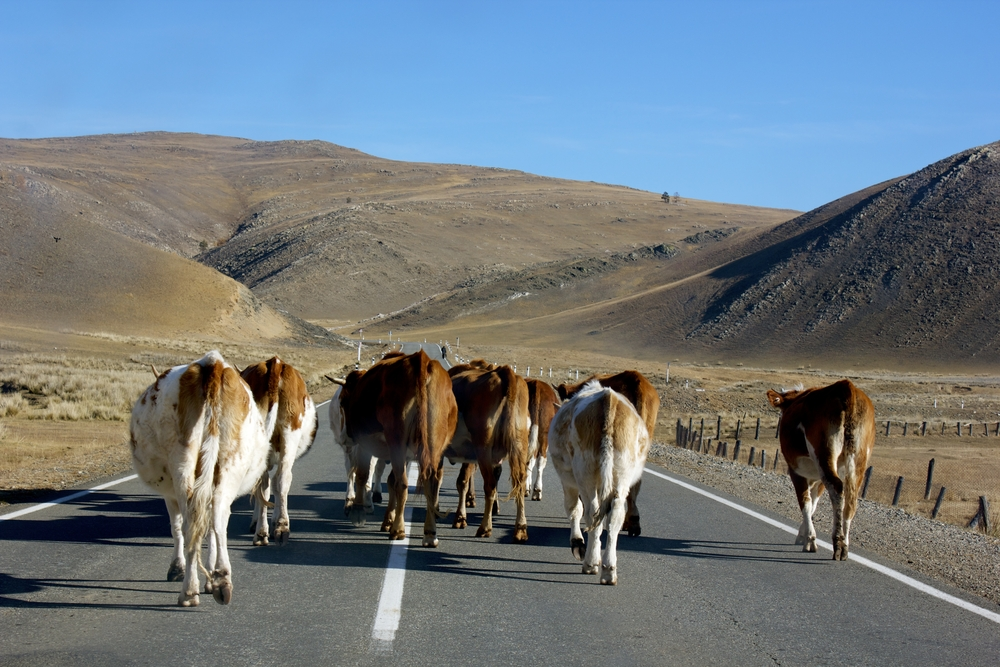 road block cows